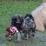 F-Wurf - Mon-sha - Beute in Sicherheit bringen - 8 Wochen alt