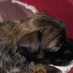F-Wurf - Hündin Nr. 1 - 4 Wochen alt