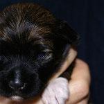 F-Wurf - Hündin Nr. 1 - 2 Wochen alt