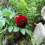 Gartenimpressionen (Pfingstrose)