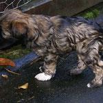 F-Wurf - 6 Wochen alt - Femi auf der Terrasse