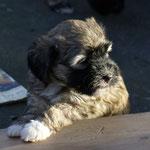 F-Wurf - 6 Wochen alt - Fiona auf der Terrasse