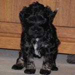 F-Wurf - Rüde Nr. 2 - 4,5 Wochen alt