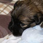 F-Wurf - Rüde Nr. 1 - 3 Wochen alt