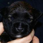 F-Wurf - Rüde Nr. 1 - 2 Wochen alt