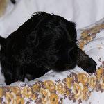 F-Wurf - Rüde Nr. 2 - 3 Wochen alt