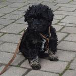 Yeshi - 7 Wochen alt - Kleiner Mann ganz groß