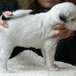Zu Besuch bei den Cho-oyus: Cho-oyu Welpe, Hündin, 6 Wochen alt