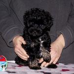 Yesh i- F-Wurf - 7,5 Wochen alt