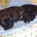 F-Wurf - Rüde Nr. 1 - 2,5 Wochen alt