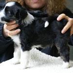 Zu Besuch bei den Cho-oyus: Cho-oyu Welpe, Rüde, 6 Wochen alt