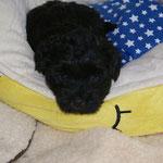 F-Wurf - Yeshi 5 1/2 Wochen alt - Dieser Blick!