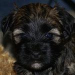 F-Wurf - Rüde Nr. 1 - 4,5 Wochen alt