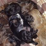 F-Wurf - Rüde Nr. 2 - 2,5 Wochen alt