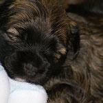 F-Wurf - Hündin Nr. 1 - 3 Wochen alt