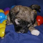 F-Wurf - 6 Wochen alt - Fiona im Spielzimmer