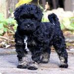 Yeshi - 7 Wochen alt - kleiner stolzer Rüde