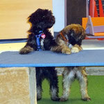 Hundeschule DogFidence - Yeshi und Femi - 15,5 Wochen alt