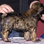 Mon-sha - F-Wurf - 7,5 Wochen alt