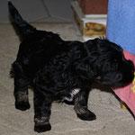 F-Wurf - Rüde Nr. 2 - 4 Wochen alt