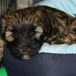 F-Wurf - Femi - knapp 7 Wochen alt