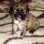 F-Wurf - Hündin Nr. 2 - Fiona - 3 Wochen alt