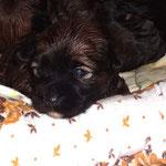F-Wurf - Hündin Nr. 1 - 2,5 Wochen alt