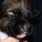 F-Wurf - Hündin Nr. 2 - Fiona - 2 Wochen alt