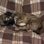 F-Wurf - Hündin Nr. 2 - Fiona - 4 Wochen alt