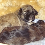 F-Wurf - Hündin Nr. 2 - Fiona - 2,5 Wochen alt