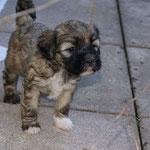 F-Wurf - Hündin Nr. 2 - Fiona - 5 Wochen alt