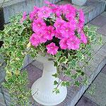 サフィニアブーケ ルージュという色が好きで、毎年植えています。