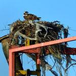 Greifvogelnest am Hafen von Topolabampo