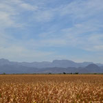 Endlose Maisfelder und die Sierra Madre Occidental im Hintergrund