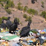 Rabengeier durchwühlen den Müll am Strassenrand