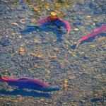 Sockeye-Lachse im Hannah Creek bei Meziadin Junction