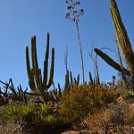 Alle Arten von Kakteen in der Catavina-Wüste