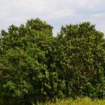 Riesige Mangobäume