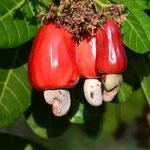 Reife rote/gelbe Scheinfrucht und nierenförmige Frucht des Kaschubaumes (Englisch: Cashew). Die Scheinfrüchte sind essbar, für den Transport bzw. Export allerdings zu empfindlich. Sie werden hier zu Marmelade verarbeitet