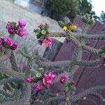 Herrliche Kakteenblüten auf dem Friedhof von Tombstone