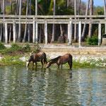 Die Pferde gönnen sich auch eine Abkühlung