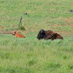 Kleine Büffelherde am Ortsausgang von Torrey