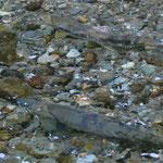 Lachse im Fish Creek