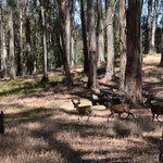 Drei junge Hirsche traben morgens über den Campingplatz...
