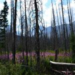 Überbleibsel des Waldbrandes von 2003