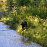 Der erste Grizzly in Sicht...