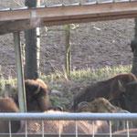 Bisons - beeindruckende Tiere