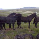 Islandpferde trotzen jedem Wetter