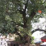 riesengrosser Baum