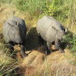zwei Rhinos stöbern wir auf
